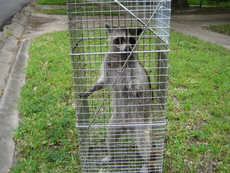 Raccoon Safely Captured