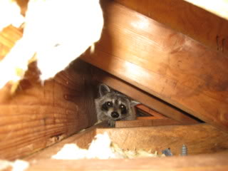Young Raccoon in Soffit